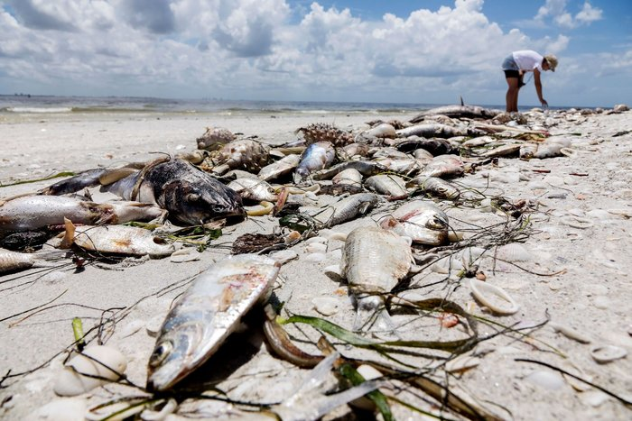 Aftermath of the red tide phenomenon in the west coast of Florida, Captiva, Usa - 03 Aug 2018
